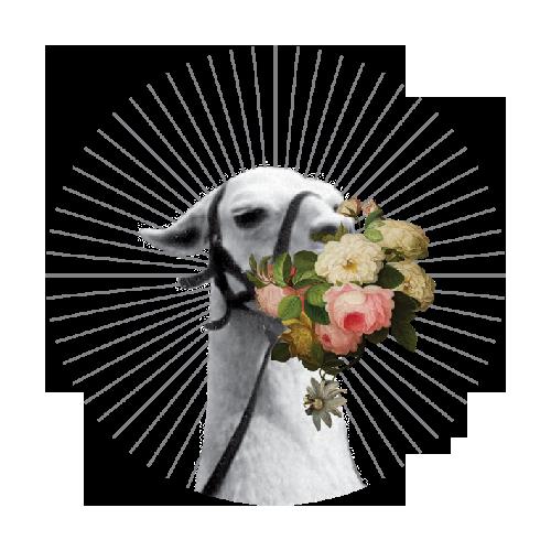lama zjadająca bukiet kwiatów